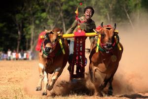 Karapan Sapi (Bull Races)